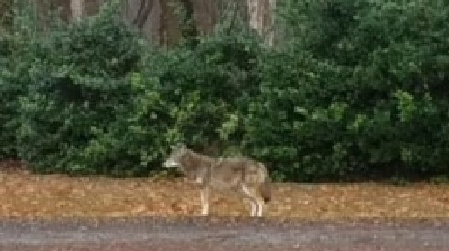 Florence woman says she stopped coyote from attacking her