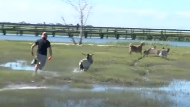 Goats on Goat Island in Murrells Inlet taken to safety - but
